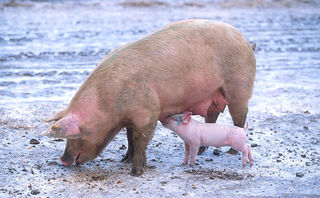 800px-Sow_with_piglet.jpg