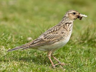 Skylark_2,_Lake_District,_England_-_June_2009.jpg